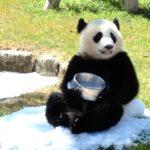 和歌山南紀白浜でパンダに会える